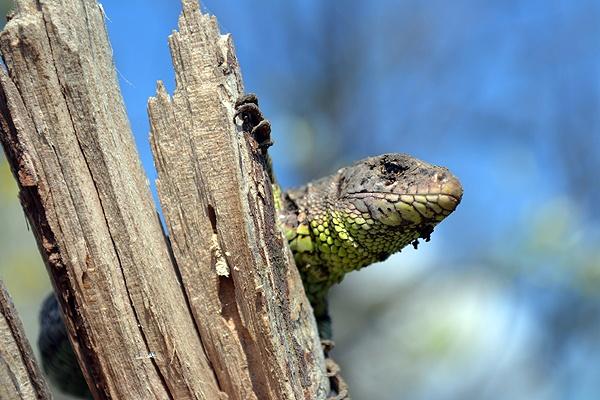 Lizard on the tree. by Laslo