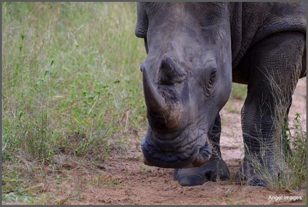 Rhino by ColleenA