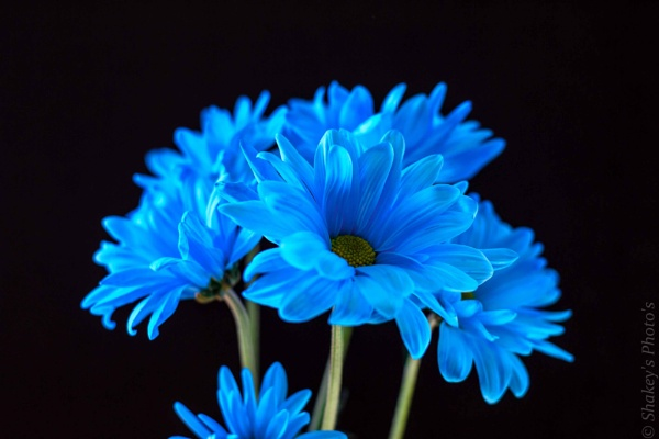 blue flowers by shakeyhands
