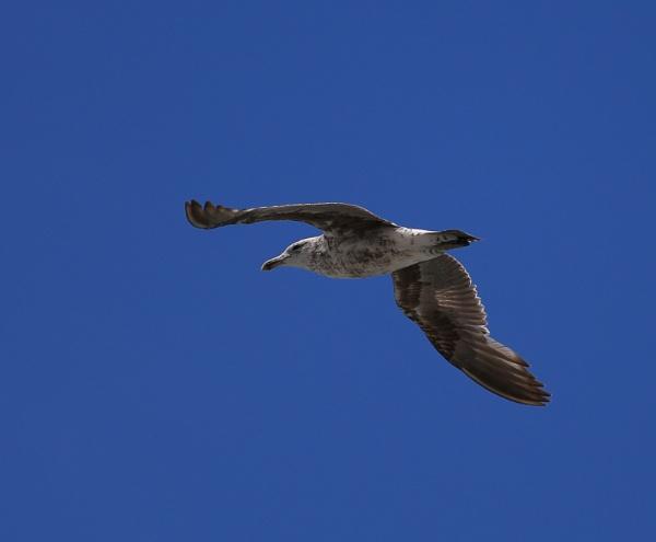 Seagul by photopix12