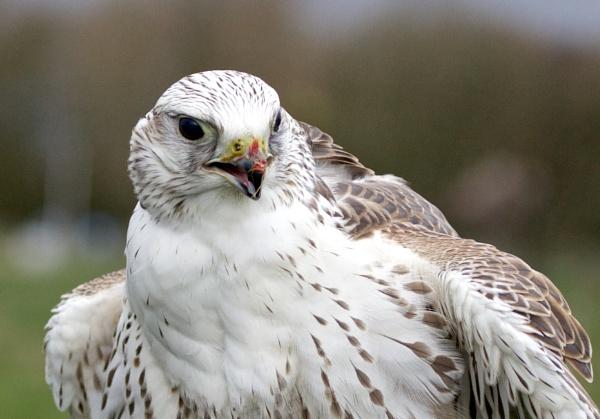 Bird of Prey Portrait by RobertTurley