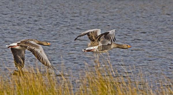 Greylag Geese. by Fogey