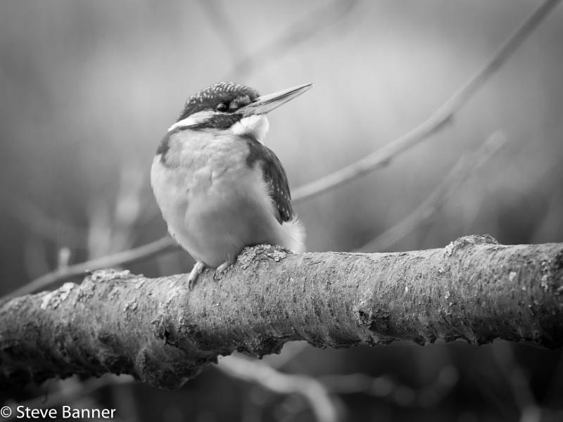 Black & White Kingfisher