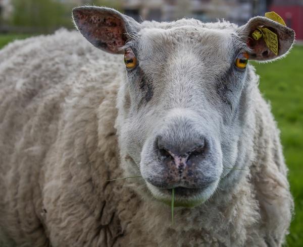 Holy sheep (org) by kuipje