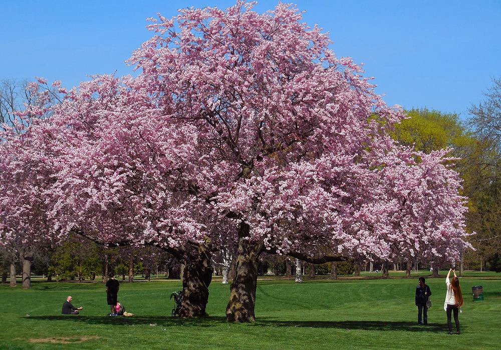 Gage Park Apple blossoms