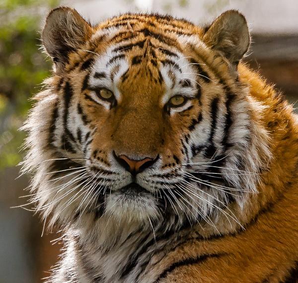 Amur Tiger - Portrait by JJGEE