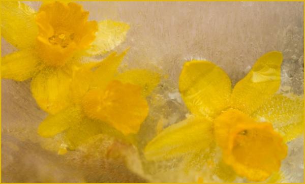 Daffodil`s in Ice. by myrab