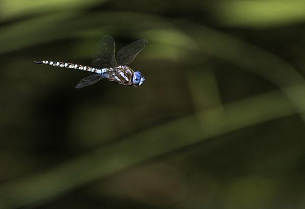 Blue Dragon Flight by BillTheBaer