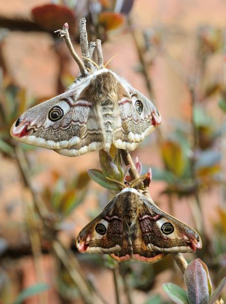Male & Female Emperor Moth by Nicksi