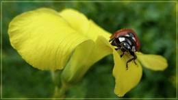 ladybird on oxalis