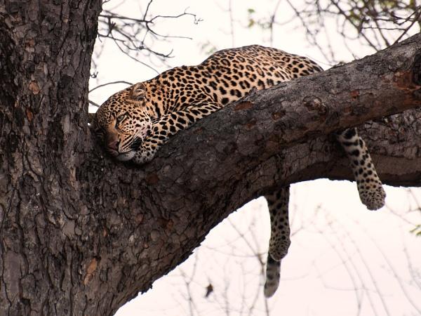 Dozing Leopard, by Kruger01