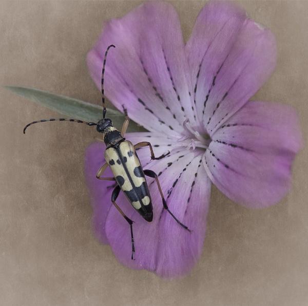 Longhorn beetle by EddieDaisy