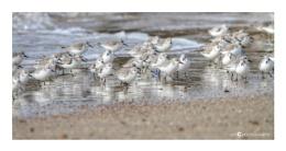 Sanderlings on the Run