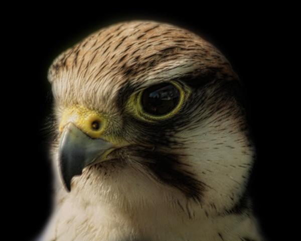 Merlin Falcon by Willpower