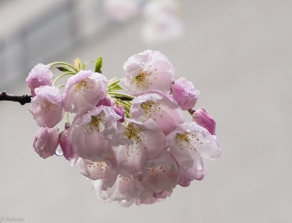 Cherry Blossoms by Swarnadip