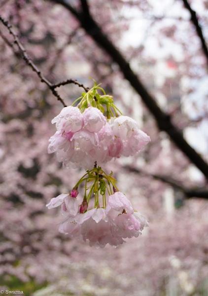 Cherry Blossoms II by Swarnadip