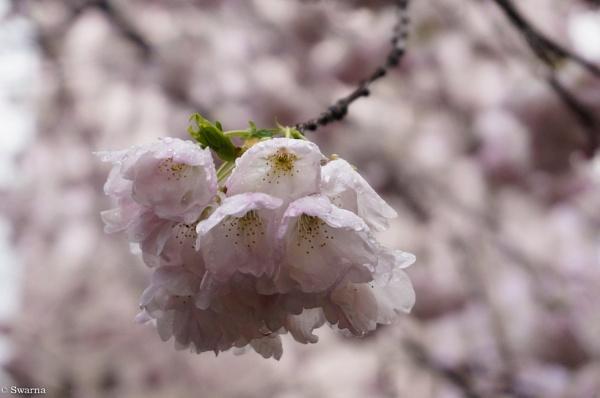 Cherry Blossoms III by Swarnadip