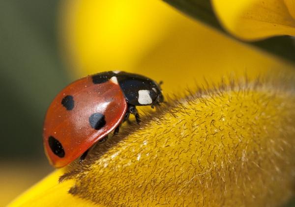 Ladybird by JonnyNI