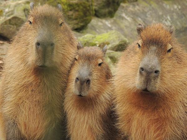 Capybara by kathrynlouise