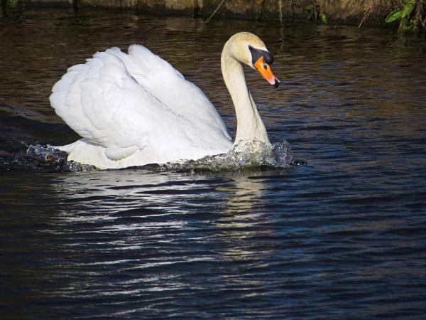 swan by togwood
