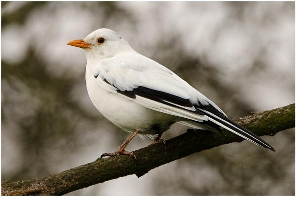 White Blackbird by Nigeve1