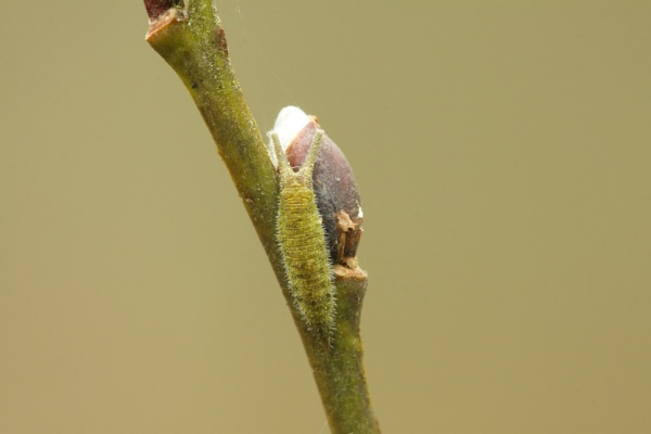 Purple Emperor 3rd Instar by Andy_brown