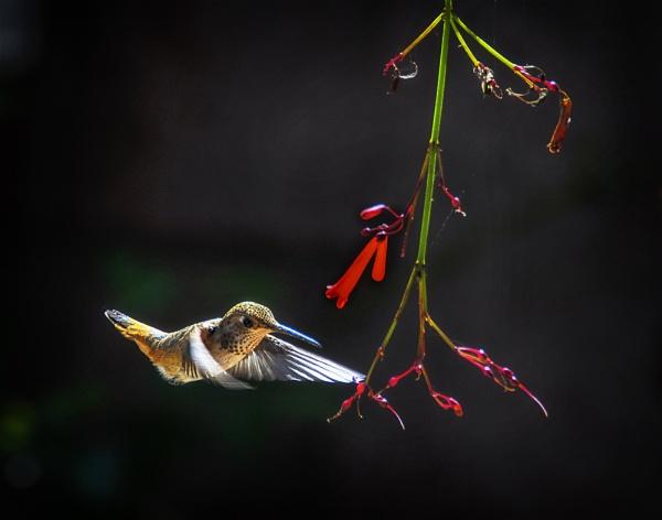 Hummingbird 2 by gajewski