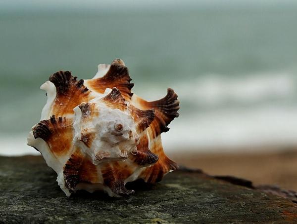 Murex Endivia Shell 1 by pamelajean