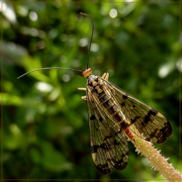 scorpionfly by CarolG