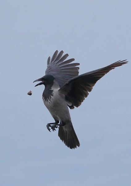 Hooded Crow breaking shells by NeilSchofield