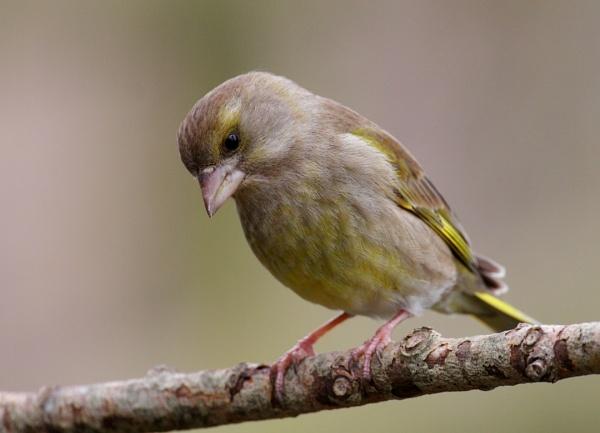 Female greenfinch by Adi7r