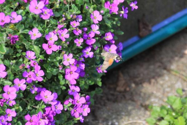 Humming Bird Hawk Moth by auraalan