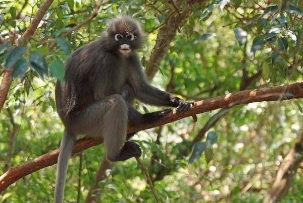 Dusky Leaf Monkey by Silverzone