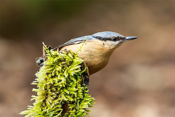 Nuthatch by ChrisWallace