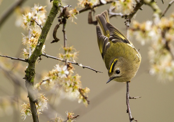 Goldcrest by Tom-Melton