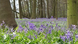Essex Bluebells