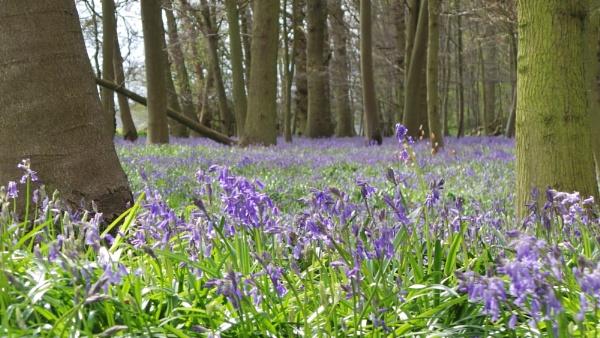 Essex Bluebells