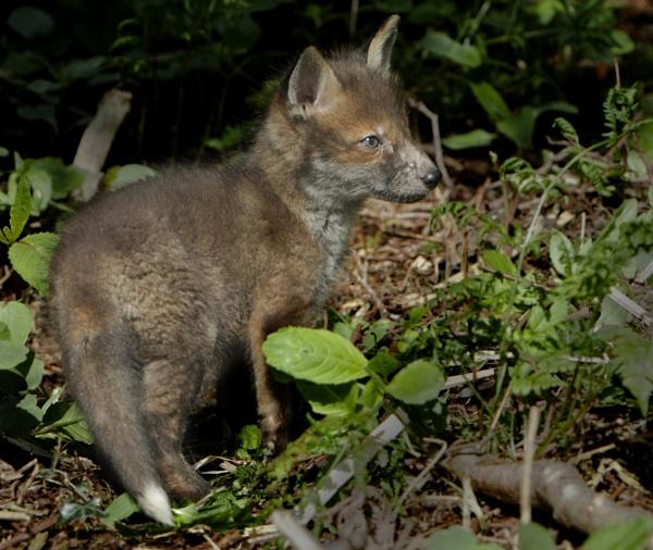 Fox Cub  day 2 by philhomer