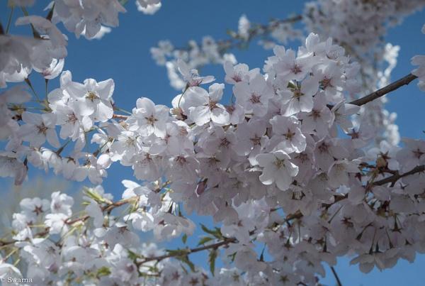 Cherry Blossoms IV by Swarnadip