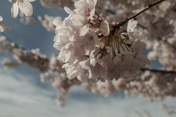 Cherry Blossoms V by Swarnadip