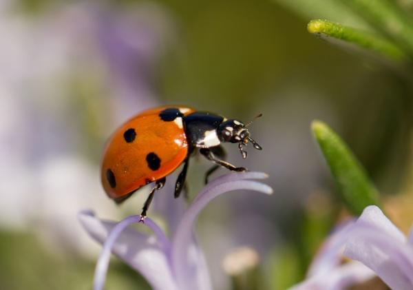 Ladybird by ali63
