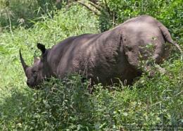 Rhino in Lake Nakuru National Park Kenya