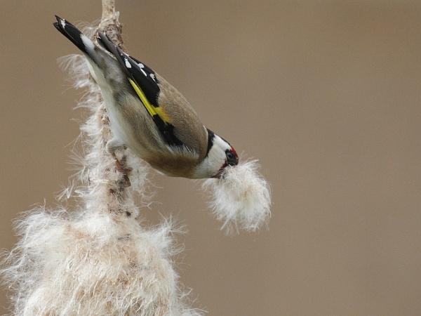 Goldfinch by Adamzy