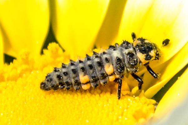 Bug on Daisy by derrymaine