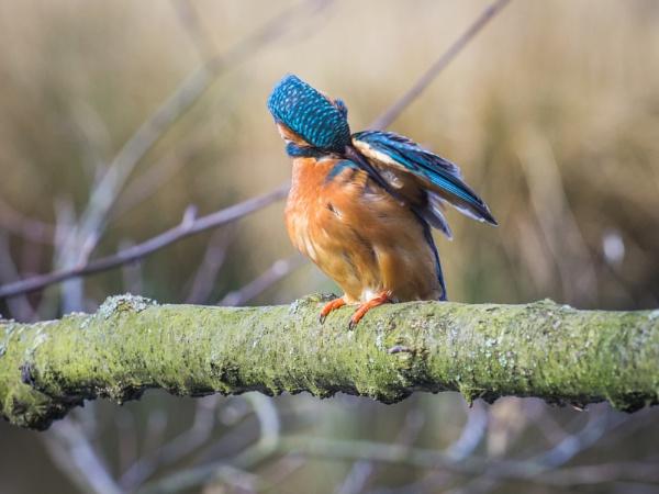 Preening kingfisher by Stevetheroofer