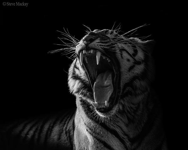 Amur Tiger by SteveMackay