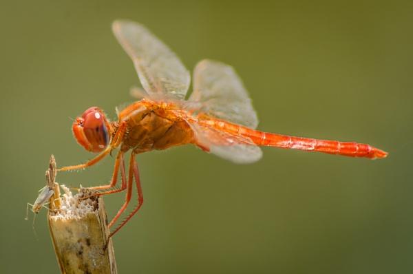 Red Dragonfly by kanwarmunish