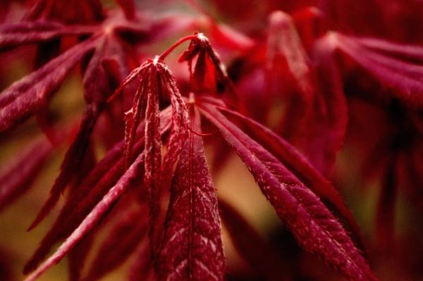 Crimson by Teaka53