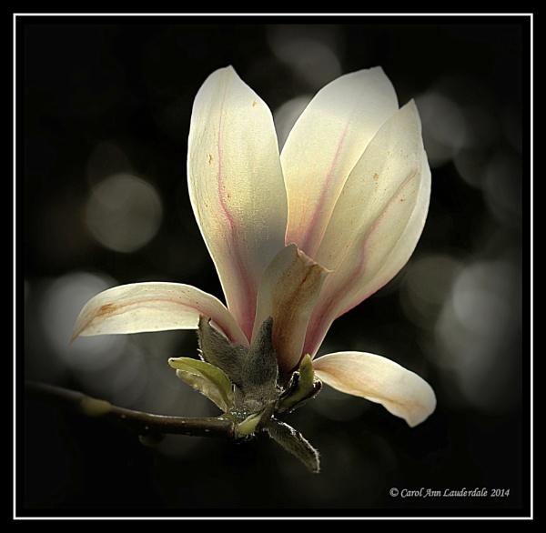 Magnolia - Bokeh by CarolAnnLauderdale