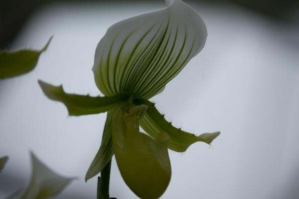 """Orchid at \""""de Keukenhof by kuipje"""